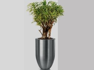 Dracaena India Branched