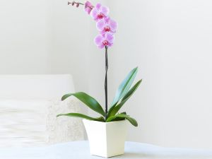 1 stump pink orchid