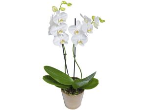 2 stump white orchid