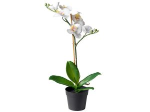 1 stump white orchid